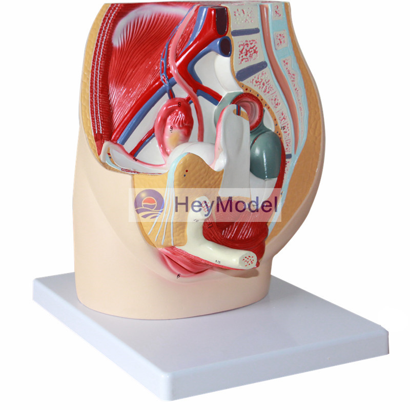 HeyModel Female pelvic median sagittal section model male reproductive system male genitourinary anatomy model sagitally section model about tissue decomposition model for doctor patient communication model with magnetic