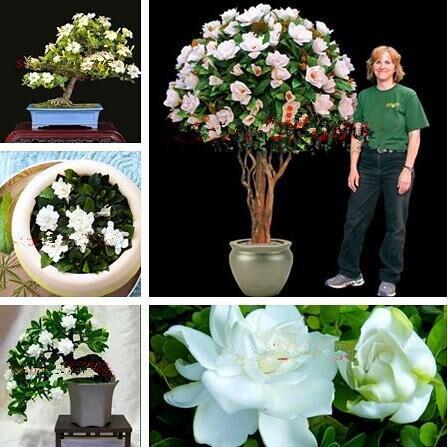 100 pz Bianco Gelsomini piante Dolce Anima fiore di Gelsomino piante Bonsai Pian