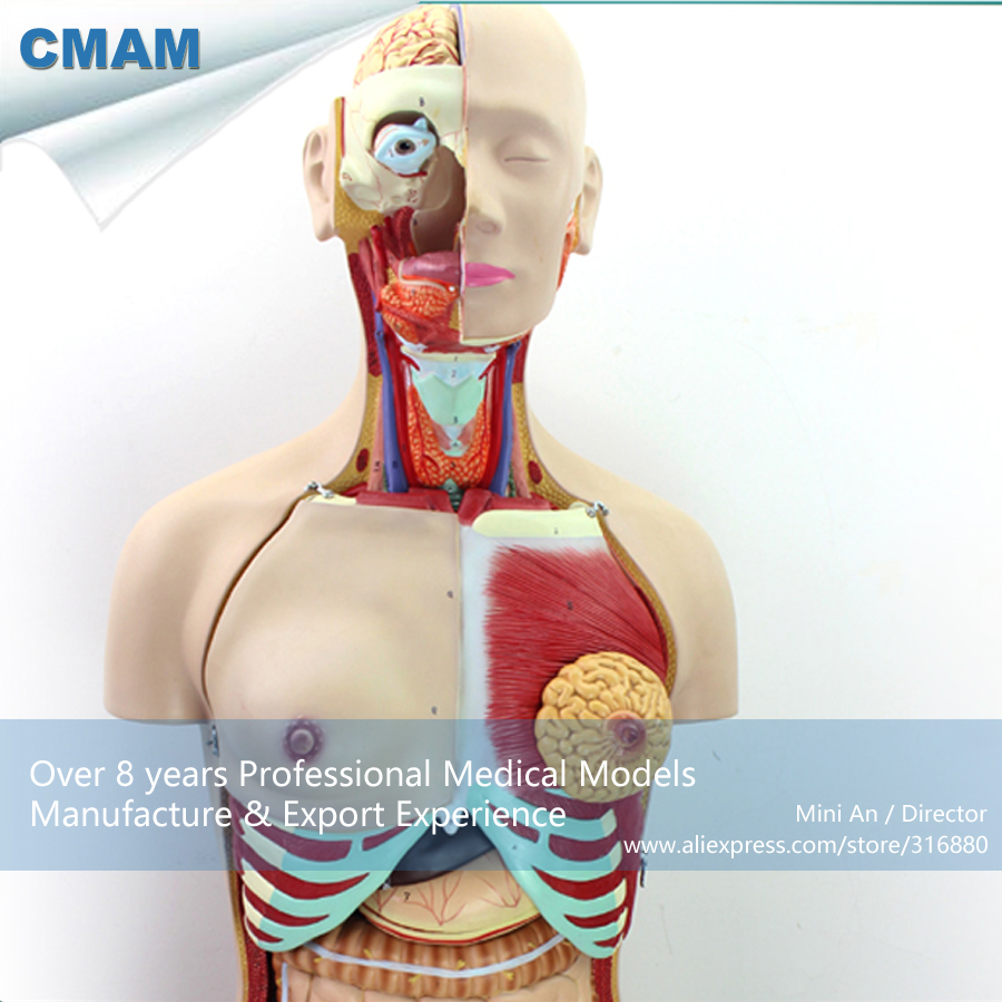 12015 CMAM-TORSO04 Medical Education Tool Model Torso Dual-Sex - 29 Parts, Medical Science Educational Teaching Models science education