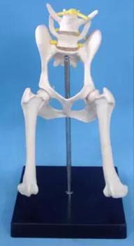 Modelo modelo canino Canino do nervo da articulação do quadril perna do cão modelo animal modelo espécime free shopping