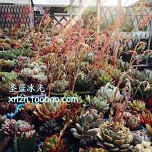 50pcs Imported succulents seed Sailun Adams ECHEVERIA simulans. Ascension sailun atrezzo zsr 205 45r16 87w