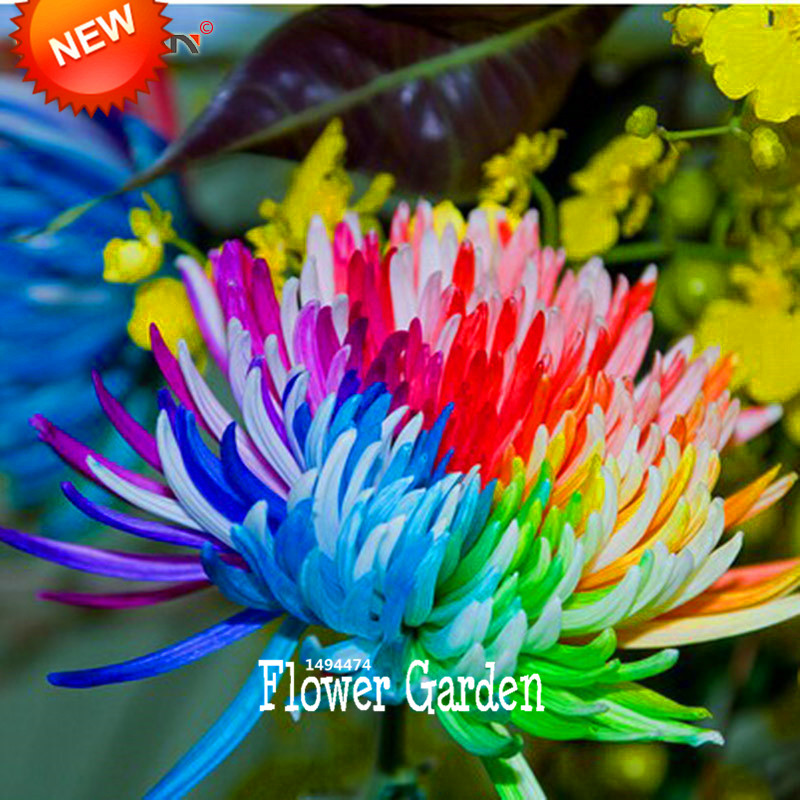 Big Sale!Rainbow Chrysanthemum Flower Seeds Rare Color DIY Home Garden Flower Plant  50 Pieces / lot,#AXF5M7