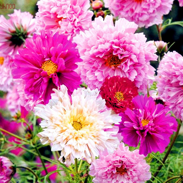 Cosmos Seeds, 100pcs/pack