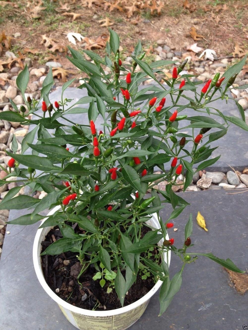 Seeds-Chili-Pepper-Seeds-Vegetable-seeds-Basket-of-Fire-garden-decoration-100pcs-B01 (2)