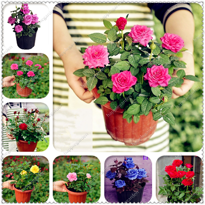 Home & Garden Logical 200pcs Mini Rose Plant Flower True Bonsai,light Fragrant Rose Flower Bonsai Plant Indoor And Outdoor Flower Family Garden Potted By Scientific Process