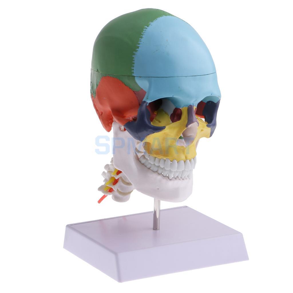 1:1 Colored 22 Parts Human Head Skull with Cervical Vertebra Medical Study Skeleton Mode ...
