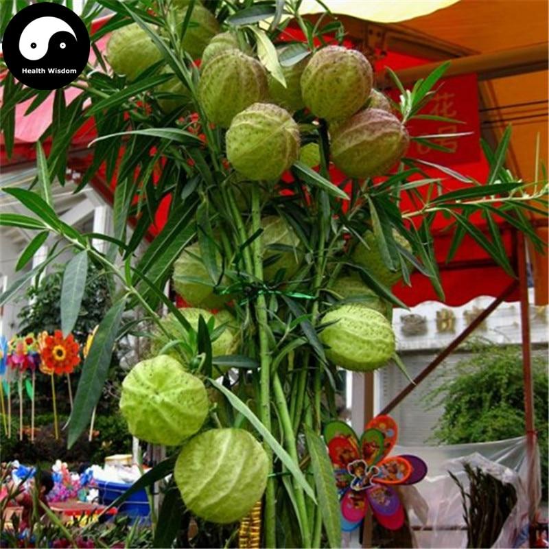 Купить Asclepias Кустарниковая дерево Semente 120 шт. завод Qi Цю го бонсай