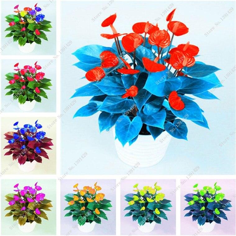 200 Pcs Rare Flower Anthurium Seeds Bonsai Palm Seeds Patio Semillas de Flores Raras Balcony Potted Plant for DIY Home Garden