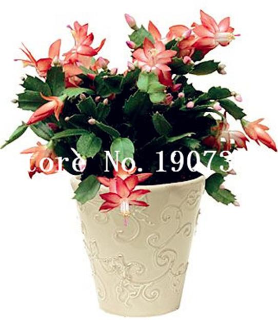 150 pcs Succulent Plant Cactus Flower Lithops Flower Bonsai Epiphyllum Bonsai Beauty Your Courtyard DIY Plant Home Garden