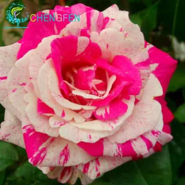 شحن مجاني 100 قطع روز زهرة نادر بونساي زهرة بونساي قوس قزح بتلات النبات للمنزل حديقة
