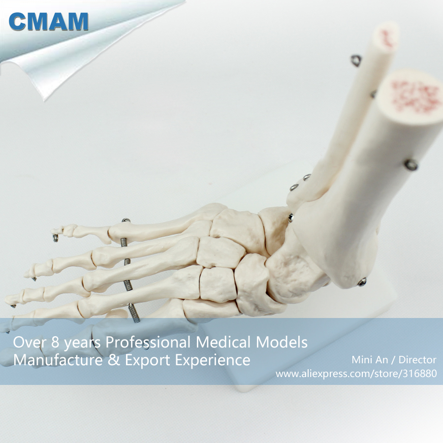 No. 12347 , Foot Bone , Medical Science Didactic Joint and Extremities Model , CMAM china medical anatomical models no 12314 hip and femur bone model of orthopedics implantation practice cmam china medical anatomical models