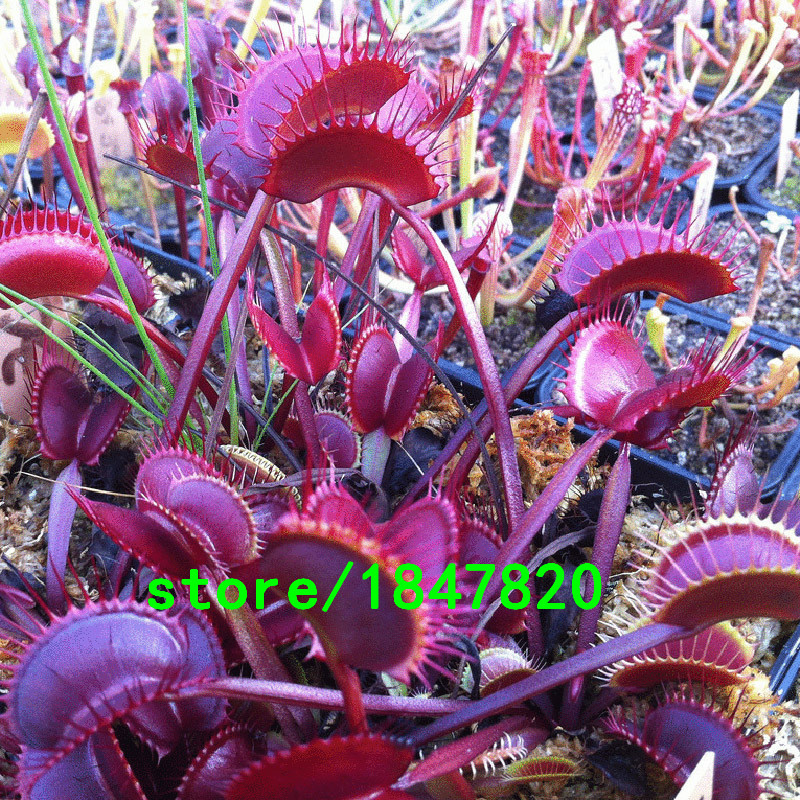 Unique Red Dragon Flytrap Seed Bonsai Potted Dionaea Muscipula Plant Seed Terrace Garden Carnivorous Plant Seeds 100PCS