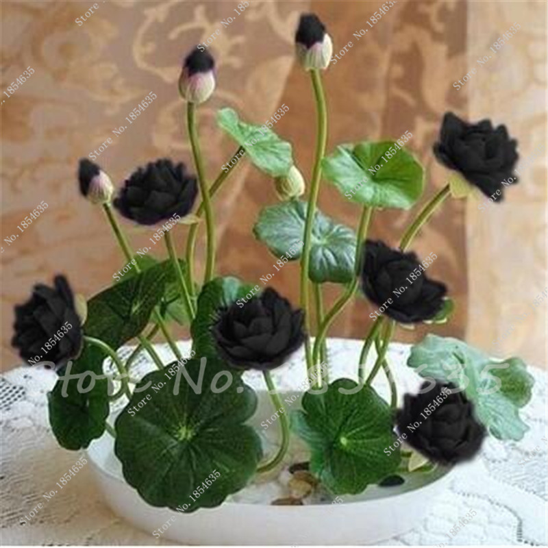 Compare prices on black lotus plant online shopping buy for Lotus plant for sale