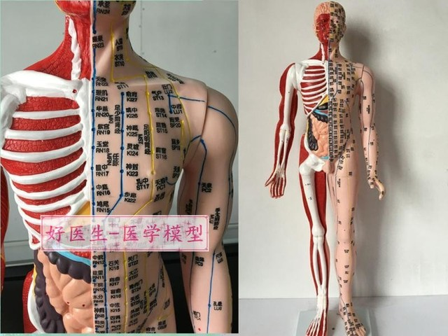 High definition human acupuncture model 85CM half musculoskeletal ...