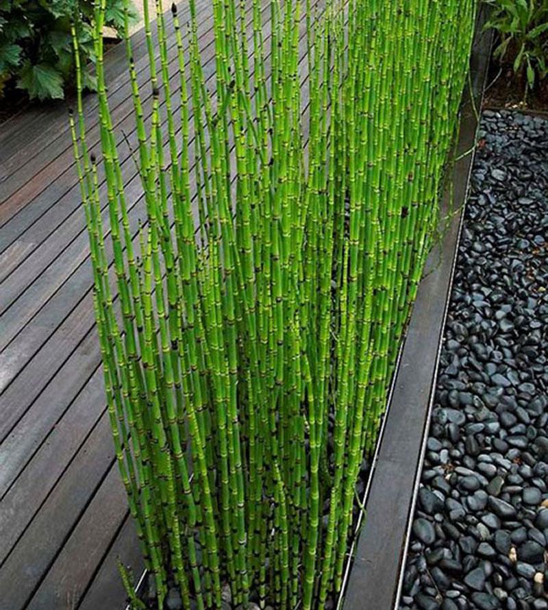 50pcs fresh moso bamboo seeds sprout 99 bambu bambusa for Decoration jardin bambou