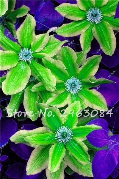100 pcsbag clematis seeds flowers clematis vine seeds perennial flower seeds clematis plants bonsai pot garden plant aliexpress mobile