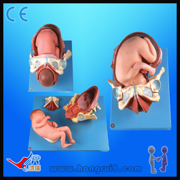 Demonstrantion Model of childbirth ,human anatomy model mini human uterus assembly model assembled human anatomy model gift for children