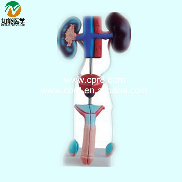 BIX-A1063 Model Of The Urinary System(Male)   G158 bix f9 advanced cervical change and the relationship of the birth canal model mq180