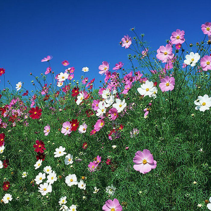 Fast Growing Wildflowers Easy Cultivation Perennial