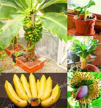 100 Pcs Dwarf Banana Tree Bonsai Fruit Plant Rare Mini Musa Velutina Sementes Da Fruta Potted Planting