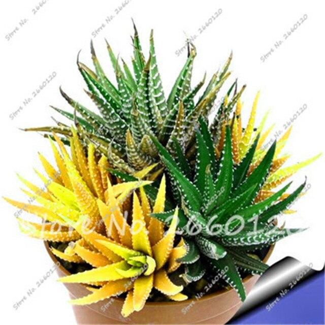 10 Amarillo Aloe suculentas Semillas Mix Excelentes Plantas de ...