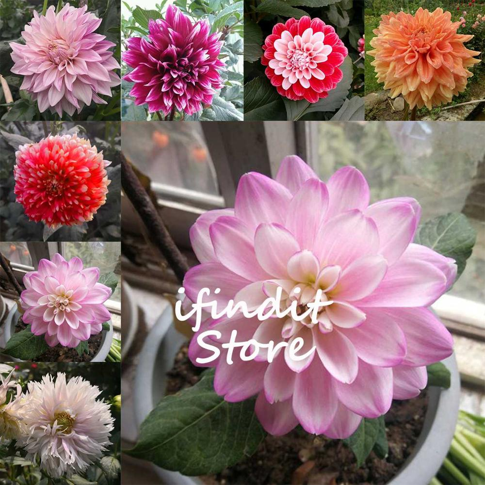 50pcs Dahlia Bonsai Mixed Multi Color Purple Potted Flower Plant For Balcony Home Garden Decor Diy Potted Planting Free Shipping