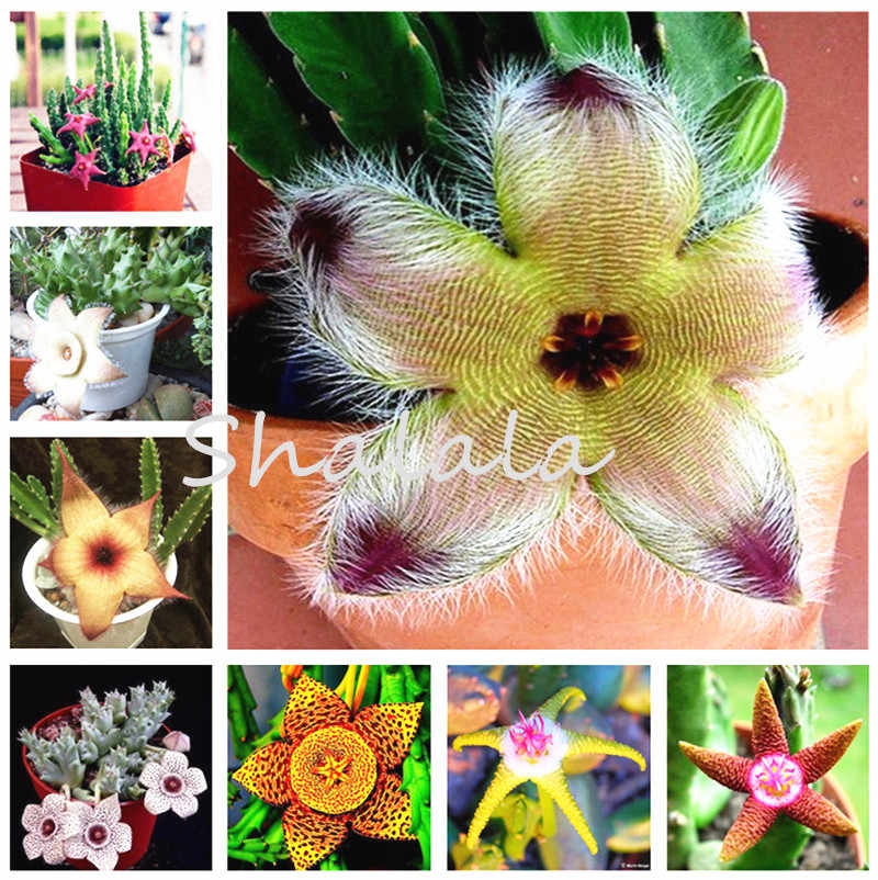 200Pcs Long Fur Stapelia Pulchella Succulent Bonsai Plants Rare Five Star Flower Exotic Cacti for Home & Garden Pots Planters