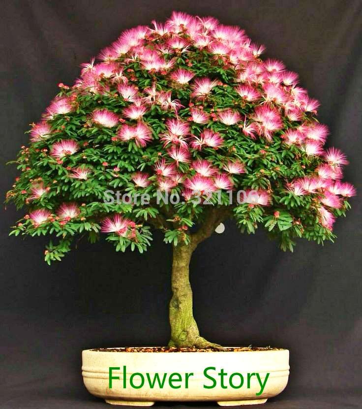 25 albizia julibrissin semillas mimosa de seda persa - Arbre ver a soie ...