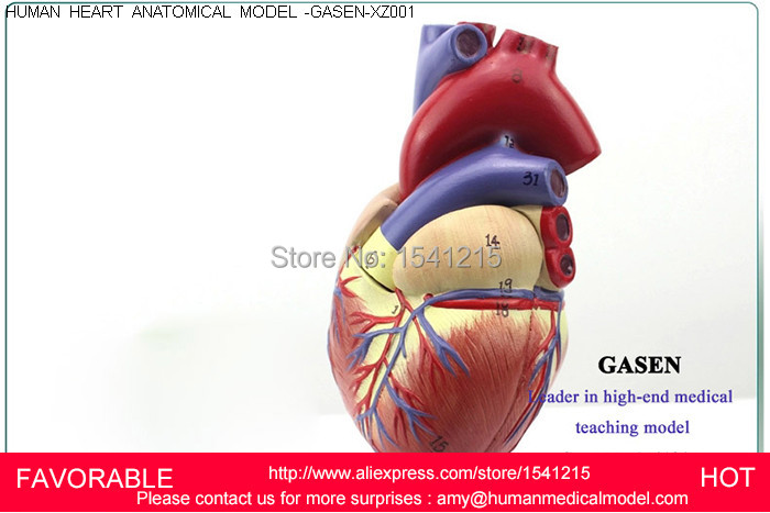 HEART ANATOMY VISCERA MEDICAL,MODEL OF CARDIAC CARDIAC ANATOMY CARDIOVASCULAR HEART,HUMAN  ANATOMIC HEART MODEL-GASEN-XZ001 heart anatomy viscera medical model model of cardiac cardiac anatomy cardiovascular model of human heart model gasen rzjp009
