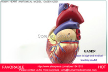 HEART ANATOMY VISCERA MEDICAL,MODEL OF CARDIAC CARDIAC ANATOMY CARDIOVASCULAR HEART,HUMAN  ANATOMIC HEART MODEL-GASEN-XZ001