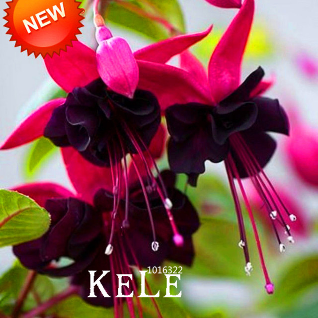 flowering house plants purple aliexpress buy hot salepurple double petals fuchsia seeds - Flowering House Plants Purple
