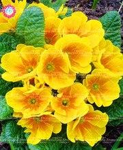 100 шт./пакет Oenothera biennis семян Бонсай цветочных растений поздно ароматических растений Семена красивый сад декоративных растений.