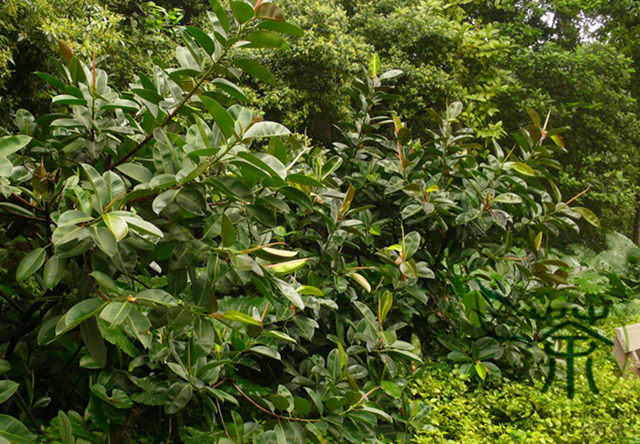 ^^Widely Cultivated Ficus Elastica ^^^^ 1000pcs, Family Moraceae Rubber Fig  Tree ^^^^, Ornamental Plant Indian Rubber Bush ^^^^