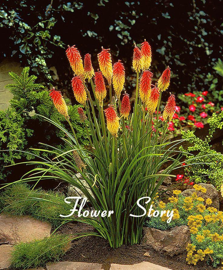 Kniphofia flower seeds red hot pokers plant torch flower so pretty kniphofia flower seeds red hot pokers plant torch flower so pretty long blom fiery hued flower light up landscape free shipping in bonsai from home garden mightylinksfo