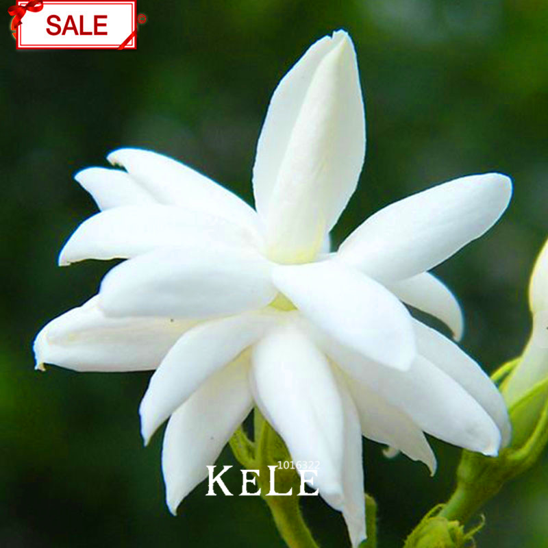 Online Buy Wholesale jasmine flower seeds from China jasmine