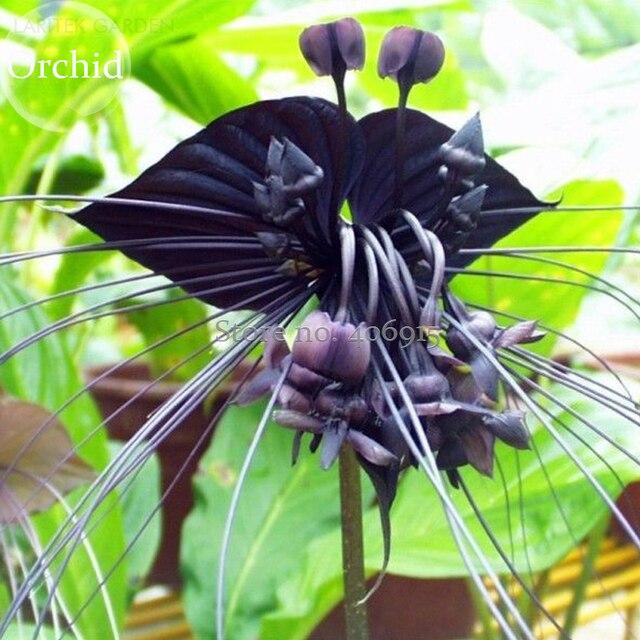 rare u0027cat face beardu0027 black orchid perennial flowers 10 seeds attractive light