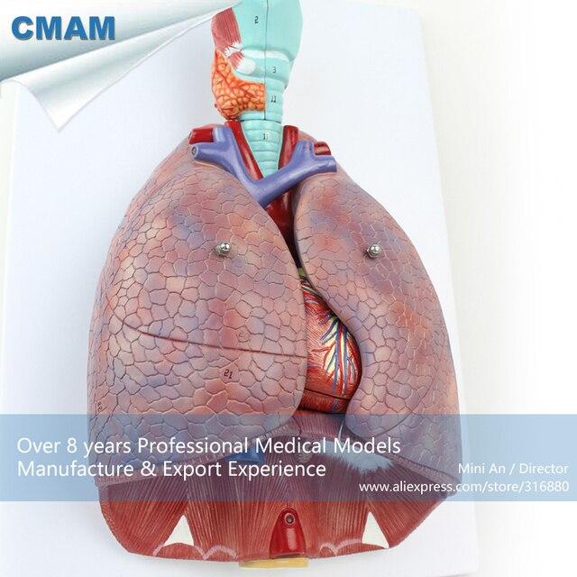 12498 CMAM LUNG01 Anatomie Herz lungen funktion System Lunge mit ...