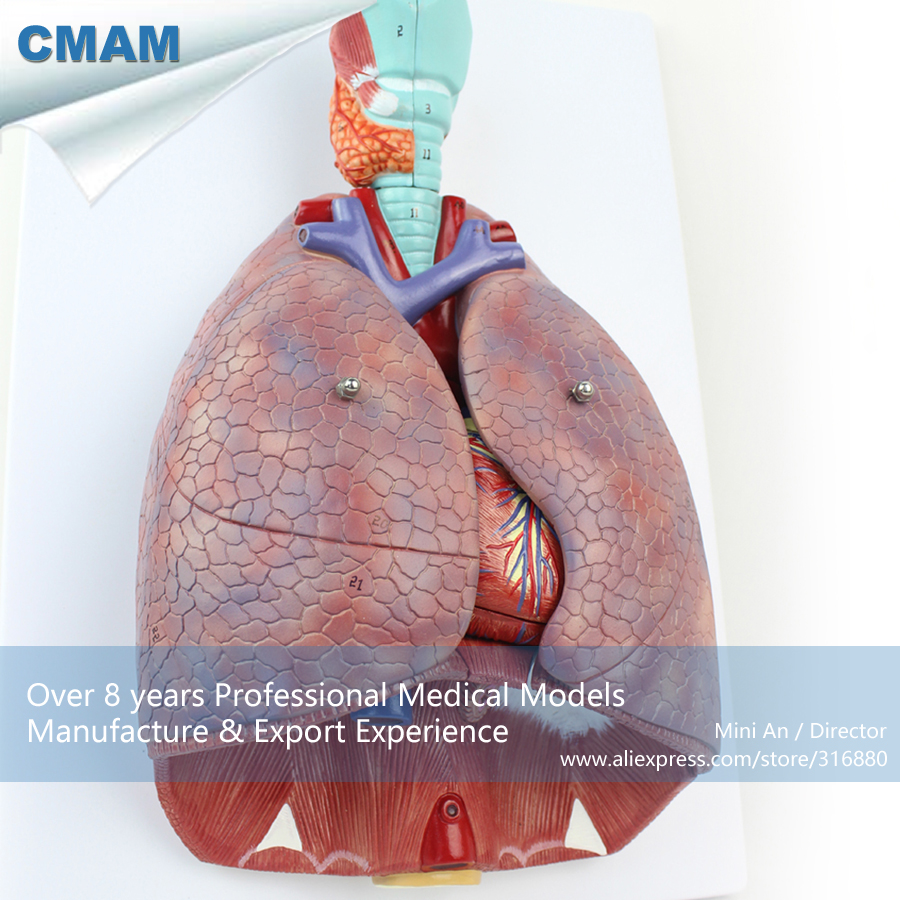 12498 CMAM-LUNG01 Anatomy Cardiopulmonary System Lung with Larynx - 7 Parts, Medical Science Teaching Anatomical Models human anatomical male genital urinary pelvic system dissect medical organ model school hospital