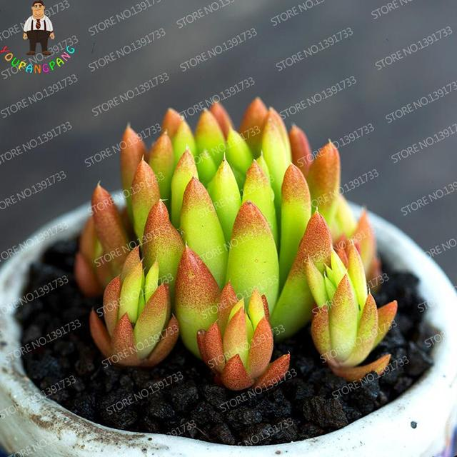 100pcs Rare Mix Succulent Cactus plants Mini Lithops flower Bonsai For Garden decoration