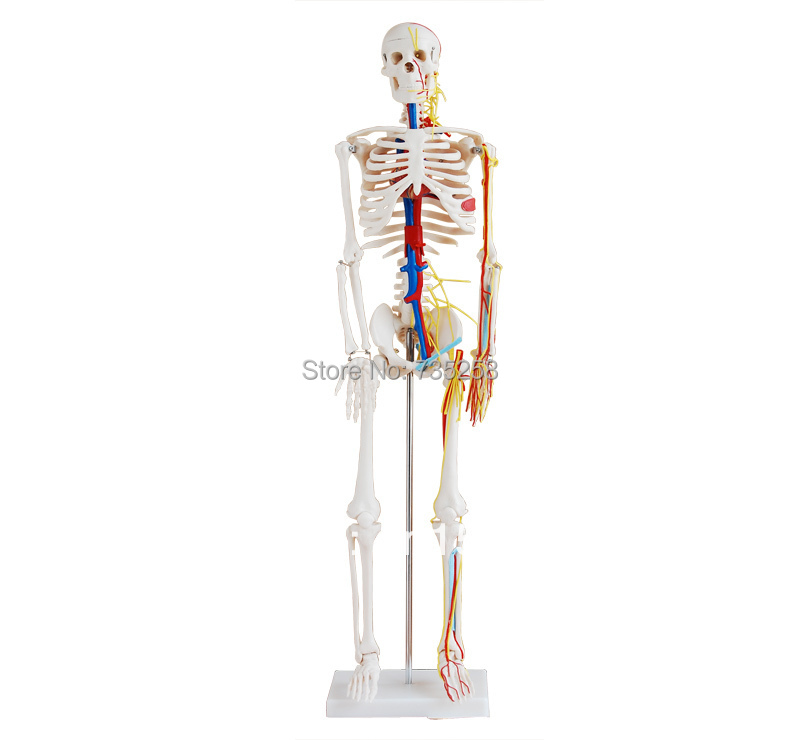 ᐃ85cm Skeleton with Nerves and Blood Vessels,Human body skeleton ...