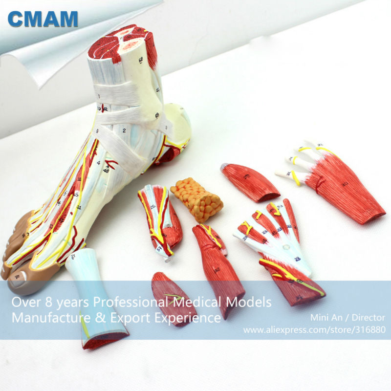 CMAM-MUSCLE11 Medical Anatomical Foot Model with 9-Parts Removabe Muscle and Vessels