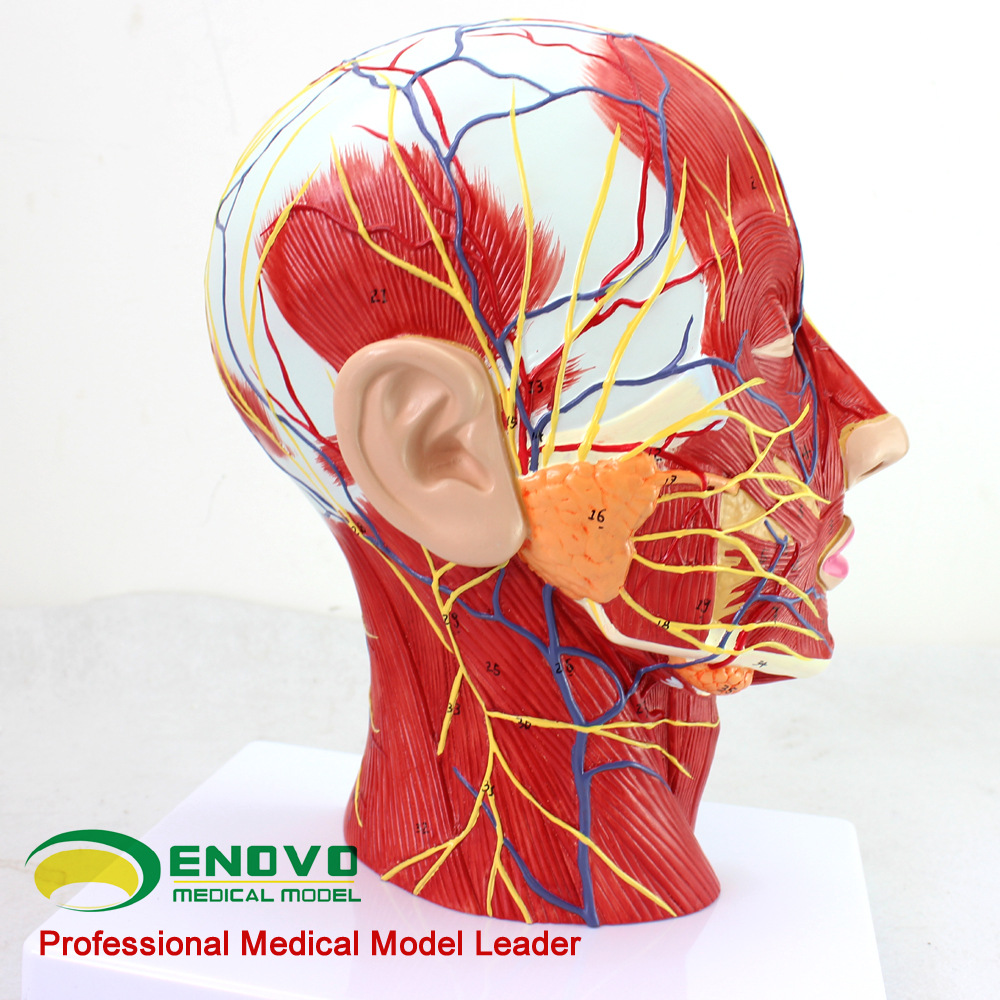 Median Sagittal Section of The Head with Attached Vascular Nerve Model Beauty Micro Plastic Medicine Teaching Aid Teaching Model sagitally section model about tissue decomposition model for doctor patient communication model with magnetic
