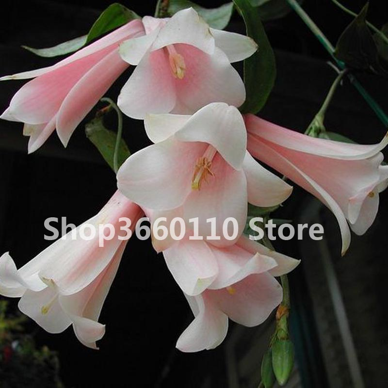 100 pcs bag garden decoration Bell Orchid Bonsai Flower Campanula bonsai Flower 5 colors Convallaria plant pot for home garden in Bonsai from Home Garden
