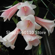 100 pcs/bag garden decoration Bell Orchid Bonsai Flower Campanula bonsai 5 colors Convallaria plant pot for home