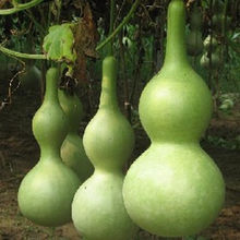 30 Pcs New Bottle Gourd Bonsai Big Wine Gourd Spoon Lagenaria Siceraria Bonsai Calabash Gourd Vegetable Bonsai For Home Garden(China)