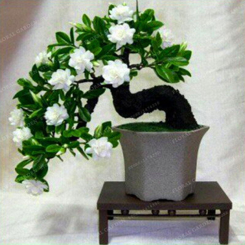 Big Promotion!100 Pcs/Lot Gardenia Seeds (Cape Jasmine)* Home Garden Potted Bonsai, amazing smell & beautiful flowers for room