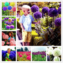 100pcs/bag Purple Giant Allium Giganteum, Beautiful Flower bonsai Garden Plant the budding rate 95% rare flower for HOME GARDEN