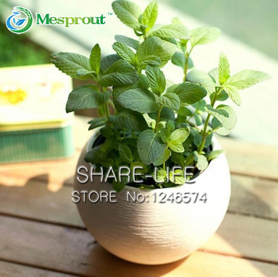Mint Green Vegetable Seeds Balcony Potted Aromatic Plant