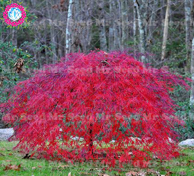 10 pcs Rare nain pleurant Japonais érable arbre graines Jardin ...