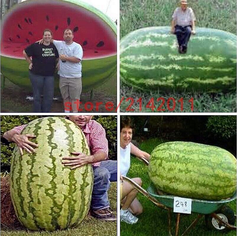 30 /bag giant watermelon ,it is so big! rare Organic Heirloom vegetable fruit bonsai growth home garden planting 流水 盆 養魚